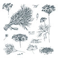 Dill set. Hand drawn sketch collection with greens, bunch, branch, flower, inflorescence, seeds. Vector illustration on