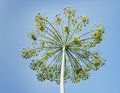 Dill umbrella against the sky Royalty Free Stock Image