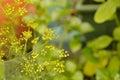 Dill weed flower in backyard garden
