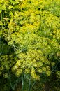 Dill the yellow blooms of Stock Photos