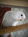 Dilute grey baby budgie a close up view of a Stock Images