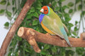 Dilute lady gouldian finch a rare pale lime green with an orange head perched on a branch Stock Images
