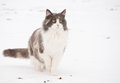 Diluted calico cat in snow Stock Photos