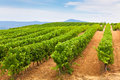 Diminishing rows of vineyard field in southern france horizontal shot with selective focus Royalty Free Stock Photography