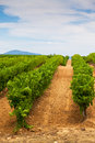 Diminishing rows of vineyard field in southern france vertical shot with selective focus Stock Images