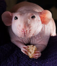 Diner hairless rat Royalty Free Stock Photo
