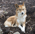 Dingo australien Photographie stock