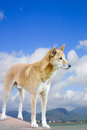 Dingo with cairns city in the background one Royalty Free Stock Images