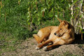 Dingo lying on ground Royalty Free Stock Photos