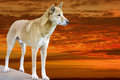 Dingo in the sunset bright evening Stock Images