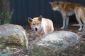 Dingos in captivity in a wild life park in Australia Royalty Free Stock Photo