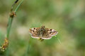 Dingy skipper butterfly (Erynnis tages) on grass Royalty Free Stock Photo