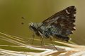 Dingy skipper butterfly (Erynnis tages) perched on grass Royalty Free Stock Photo