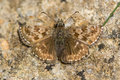 Dingy skipper butterfly & x28;Erynnis tages& x29; freshly emerged Royalty Free Stock Photo