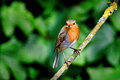 Dinner time an english robin enjoys a meal of young crickets caught along the river at sidmouth devon Royalty Free Stock Images