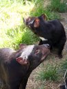 When is dinner time tasmanian devil in tasmania australia Royalty Free Stock Photography