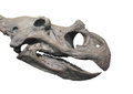 Dinosaur fossil head skull isolated. Royalty Free Stock Photography