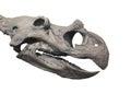 Dinosaur fossil head skull isolated. Royalty Free Stock Photo
