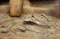 Dinosaur fossil Royalty Free Stock Photo