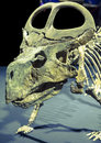 Dinosaur skeleton - Protoceratops Royalty Free Stock Photo