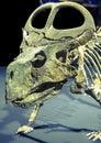 Dinosaur skeleton - Protoceratops Royalty Free Stock Photo