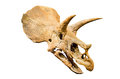 Dinosaur skeleton. Triceratops Fossil skull over white Royalty Free Stock Photo