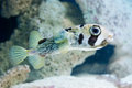 Diodon hystrix spot fin porcupinefish saltwater fish Royalty Free Stock Photography