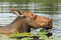 Diped female moose Royalty Free Stock Photo