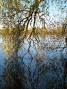 Dipped partially branching out into the water Royalty Free Stock Photography