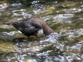 Dipper fishing in the River Dove Royalty Free Stock Photo