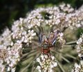 Diptera fly at summer time on wild carrot flower in sunny ambiance Stock Photography