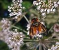 Diptera in natural back fly on wild carrot flower seen from above Stock Photos