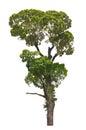 Dipterocarpus alatus tropical tree isolated on white background Stock Photo