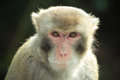 Direct look a crab eating macaque with a into the camera Royalty Free Stock Image