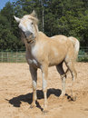 Dirt funny horse arabian on the sand Stock Photo