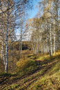 Dirt path in an autumn birch forest wood Stock Photos