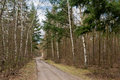 Dirt Road And Birch Trees Royalty Free Stock Photo