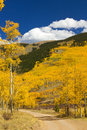 Dirt Road Through Colorado Aspen Forest In Fall Royalty Free Stock Photo