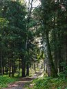 Dirt road through deciduous forest at dawn. Royalty Free Stock Photo