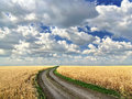 Dirt road in the middle of a wheat field image Stock Image
