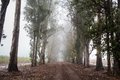 Dirt road among trees with fog Royalty Free Stock Photo