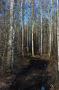 Dirt rural road season ruts wild early spring mire march birch tree forest dirty muddy heavy vehicle tracks large detailed Royalty Free Stock Photos