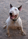 Dirty bull terrier smiling for his picture a filthy posing Stock Photos