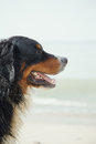 Dirty dog looks aside bernese mountain close up near sea Royalty Free Stock Photos
