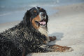 Dirty dog looks at camera bernese mountain lies in sand near sea Stock Photos