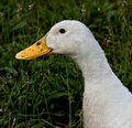 Dirty Duck Royalty Free Stock Photography