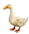 Dirty duck isolated on white background Royalty Free Stock Image
