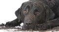 dirty muddy dog