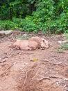 Dirty Pig sleeping in mud Royalty Free Stock Photo