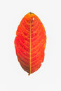 Dirty Red leaf isolated on white